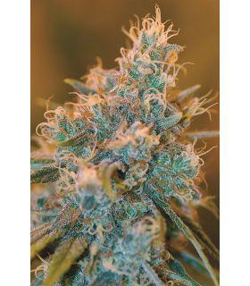 Σπόροι κάνναβης - Chocolope Kush (DNA Genetics)