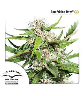 Σπόροι κάνναβης - AutoFrisian Dew