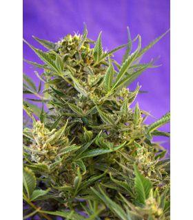 Double White (Sweet Seeds)