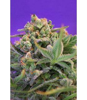 Sweet Cheese F1 Fast Version (Sweet Seeds)