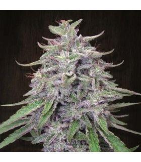 Σπόροι κάνναβης - Bangi Haze (ACE Seeds)