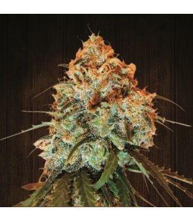 Σπόροι κάνναβης - Golden Tiger (ACE Seeds)