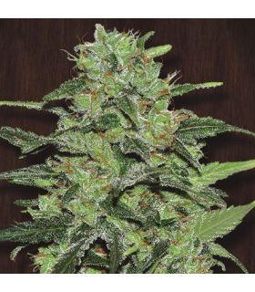 Σπόροι κάνναβης - Malawi (ACE Seeds)