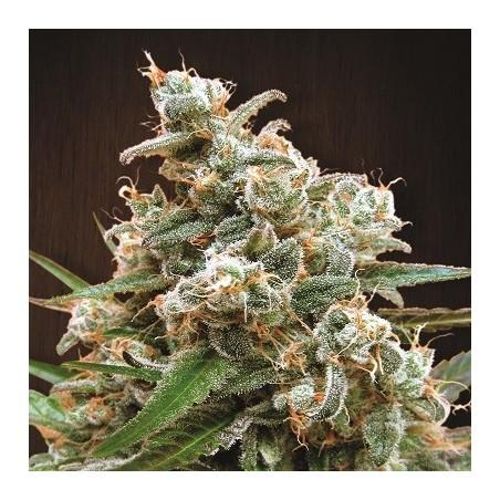 Nepal Jam (ACE Seeds)