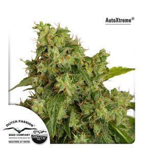 Σπόροι κάνναβης - AutoXtreme