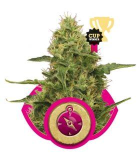 Northern Lights (Royal Queen Seeds)