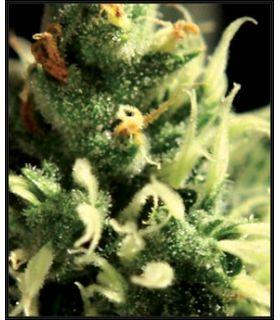 Lemon Skunk (Greenhouse Seeds)