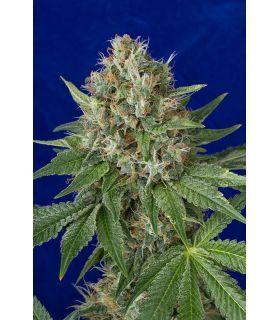 OG Kush (Humboldt Seeds)