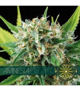 Σπόροι κάνναβης - Amnesia (Vision Seeds)