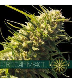 Σπόροι κάνναβης - Critical Impact (Vision Seeds)