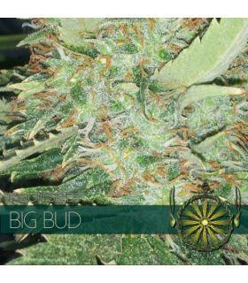 Σπόροι κάνναβης - Big Bud (Vision Seeds)