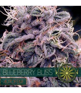 Σπόροι κάνναβης - Blueberry Bliss AutoFem (Vision Seeds)