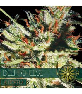Σπόροι κάνναβης - Delhi Cheese AutoFem (Vision Seeds)