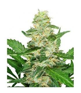 Super Skunk Automatic (Sensi Seeds)
