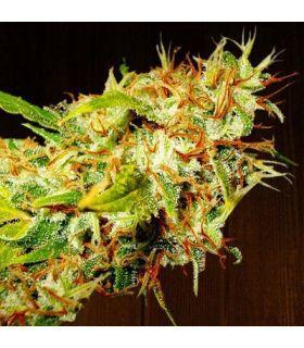 Σπόροι κάνναβης - Zamaldelica (ACE Seeds)
