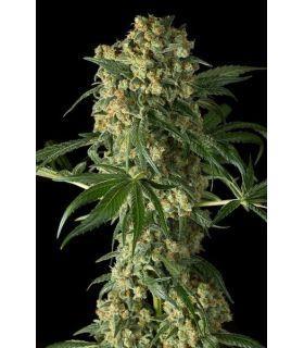 Σπόροι κάνναβης - Big Kush (Dinafem Seeds)