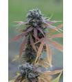 Blue Kush Autoflowering (Dinafem Seeds)