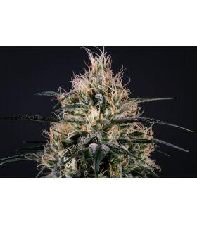 Green Doctor (Medical Marijuana Genetics)