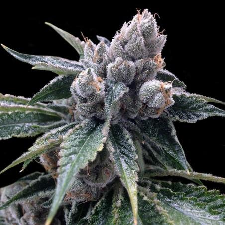 White Walker Kush (Grow Your Own)