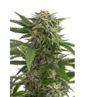 Σπόροι κάνναβης - Bubba Kush Autoflowering (Dinafem Seeds)
