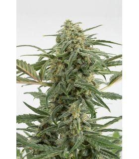 Σπόροι κάνναβης - Critical + 2.0 Autoflowering (Dinafem Seeds)