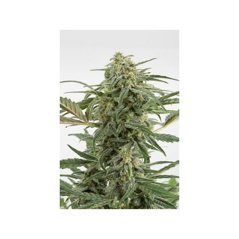 Critical + 2.0 Autoflowering (Dinafem Seeds)
