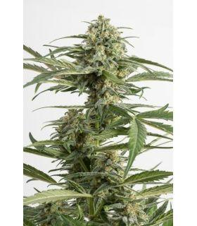 Σπόροι κάνναβης - Critical Cheese Autoflowering (Dinafem Seeds)