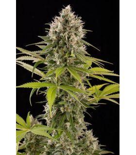 Σπόροι κάνναβης - Industrial Plant (Dinafem Seeds)