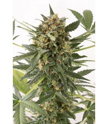 Kush-N-Cheese Autoflowering (Dinafem Seeds)