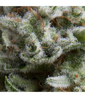 Σπόροι κάνναβης - Auto Anesthesia (Pyramid Seeds)