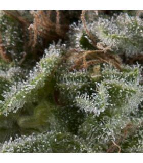 Σπόροι κάνναβης - Auto Lennon (Pyramid Seeds)
