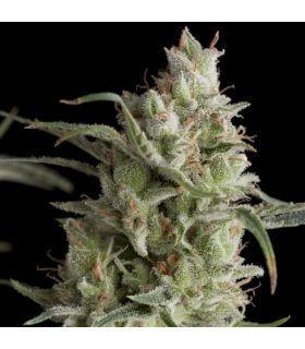 Σπόροι κάνναβης - Super OG kush (Pyramid Seeds)