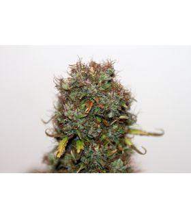 Σπόροι κάνναβης - Blueberry τριμηνίτικο (σποράδικο)
