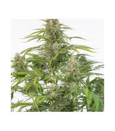 Cheese Autoflowering CBD (Dinafem Seeds)