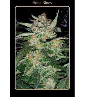 Σπόροι κάνναβης - Sour Blues (Mephisto Genetics)