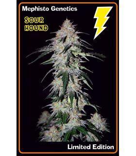 Σπόροι κάνναβης - Sour Hound (Mephisto Genetics)
