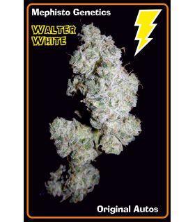 Σπόροι κάνναβης - Walter White (Mephisto Genetics)
