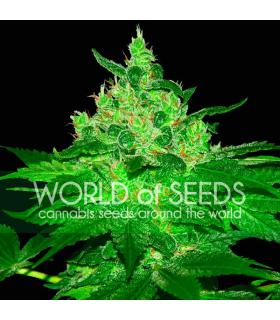 Σπόροι κάνναβης - Afgan Kush (World of Seeds)