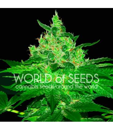 Afgan Kush (World of Seeds)