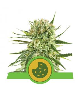 Σπόροι κάνναβης - Royal Cookies Autoflowering