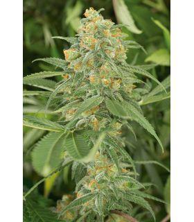 Σπόροι κάνναβης - Green Crack (Humboldt Seeds)