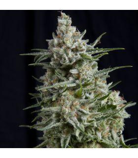 Σπόροι κάνναβης - Anesthesia CBD (Pyramid Seeds)