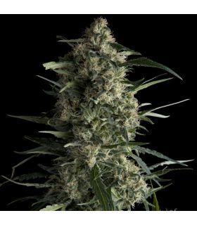 Σπόροι κάνναβης - Galaxy CBD (Pyramid Seeds)