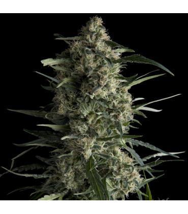 Galaxy CBD (Pyramid Seeds)