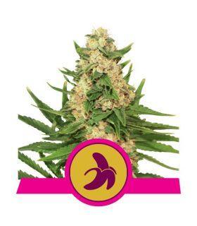 Σπόροι κάνναβης - Fat Banana (RQS)