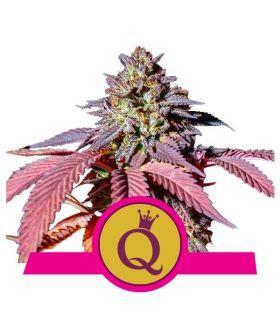 Σπόροι κάνναβης - Purple Queen (RQS)