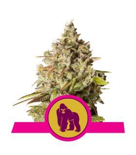 Σπόροι κάνναβης - Royal Gorilla (RQS)