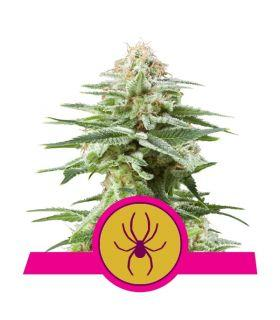 Σπόροι κάνναβης - White Widow (RQS)